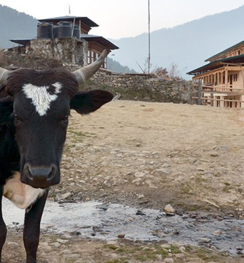 phobjikha-valley-cow-houses-bhutan-all-travels-tour